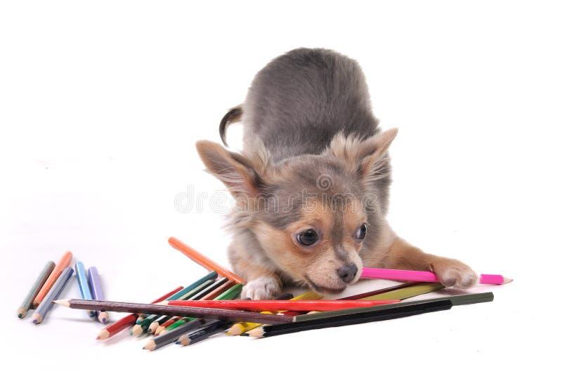 färgrika blyertspennor för chihuahua som leker valpen arkivbild