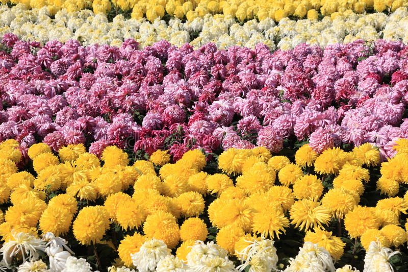 färgrika chrysanthemums vektor illustrationer