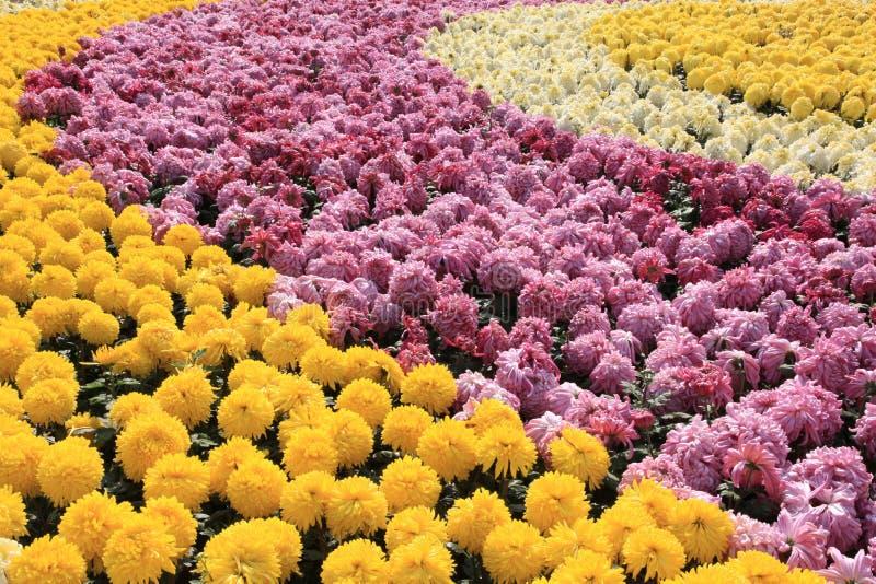 färgrika chrysanthemums arkivbild