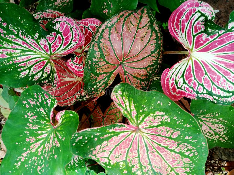 Färgrika dekorativa sidor av Caladium C bicolor Ait Vent eller drottning av den lövrika vit och grön bladtexturbackgren för rosa  royaltyfria bilder