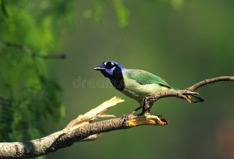 färgrika gröna jay fotografering för bildbyråer
