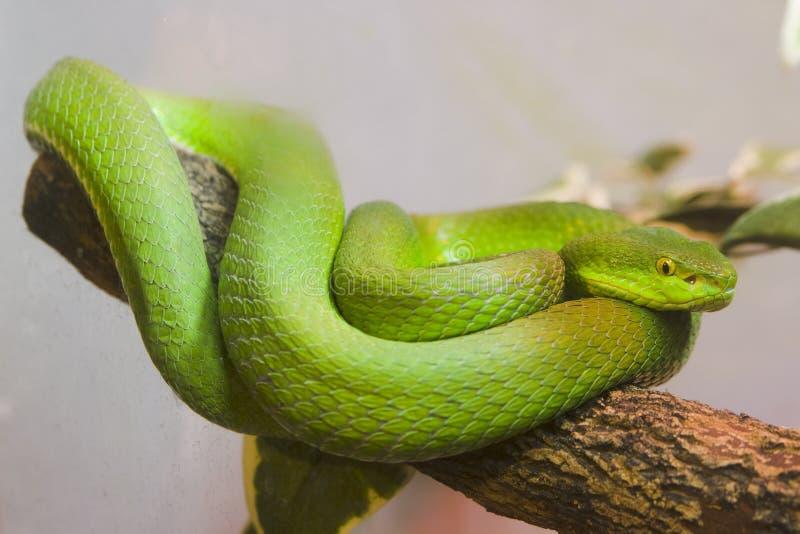 färgrika gröna single ormen arkivbild