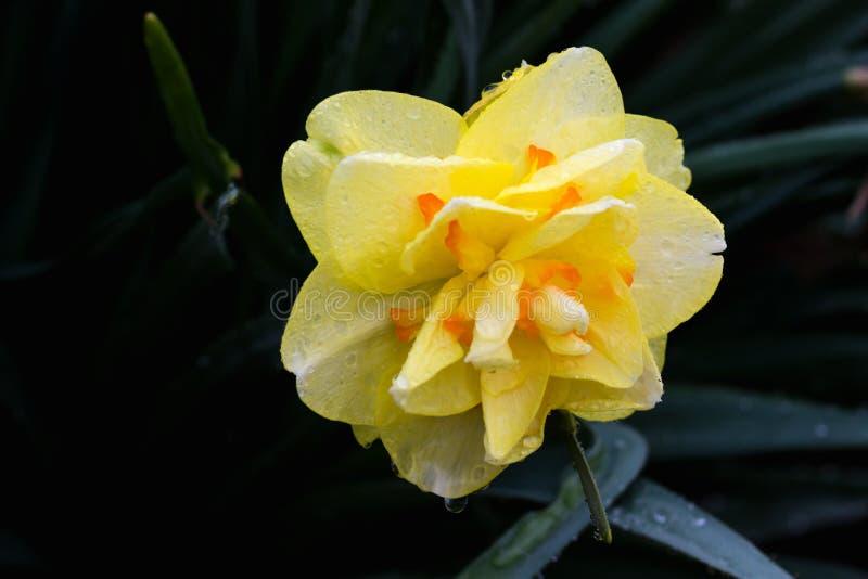 Färgrika gula dagliljor efter ett regn på en varm vårdag royaltyfria bilder