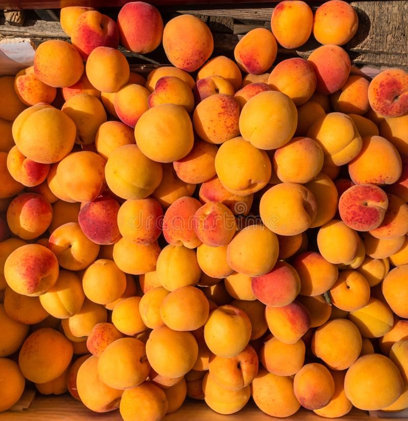 Färgrika gula mogna aprikors i bästa sikt för solljus Läcker sund sommarfrukt royaltyfri fotografi