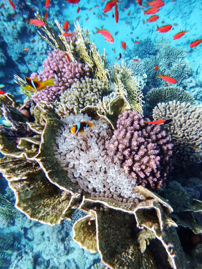 Färgrika härliga levande brännheta koraller som är längst ner av Röda havet, en anemon och clownfisk bland dem, mot royaltyfria foton
