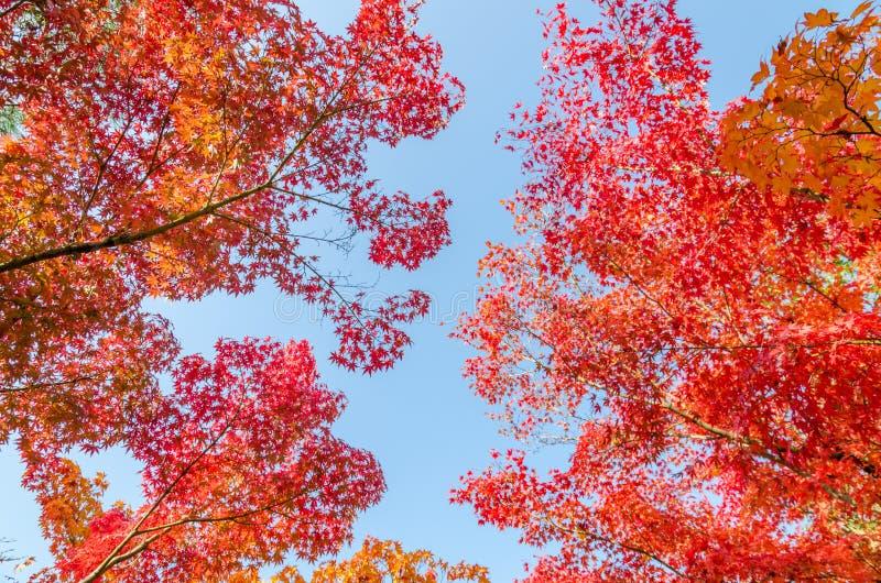 Färgrika höstsidor mot blå himmel fotografering för bildbyråer