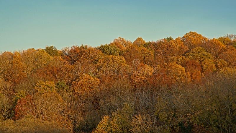 Färgrika höstträdgamla käringar i en flemish skog arkivfoton