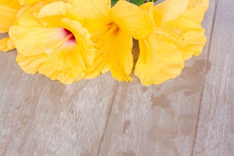 Färgrika hibiskusblommor fotografering för bildbyråer