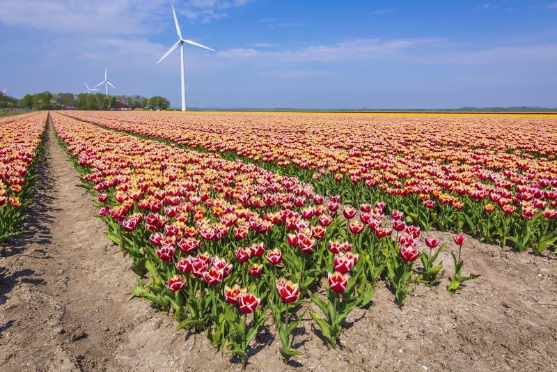 Färgrika holländska tulpan i ett blommafält och en väderkvarn i Hollan royaltyfri fotografi