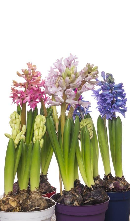 Färgrika hyacinter blommar i krukor som isoleras arkivfoton