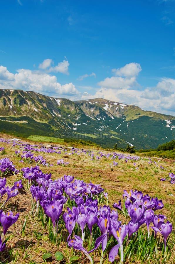 Färgrika krokusblommor som blommar i Carpathian berg på naturbakgrunden Vårnaturskönhet arkivbild