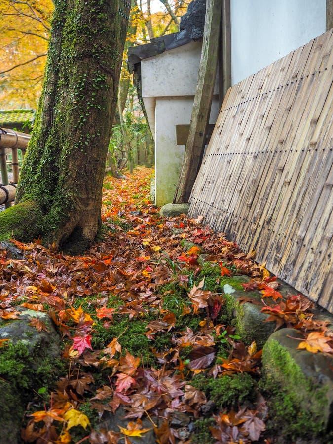Färgrika lönnlöv tappar på jordning med det mossiga trädet bredvid tempelväggen för bakgrund arkivbilder