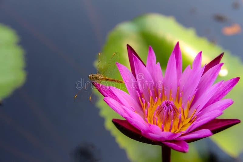 Färgrika lotusblommablommor blommar i morgonen arkivfoto