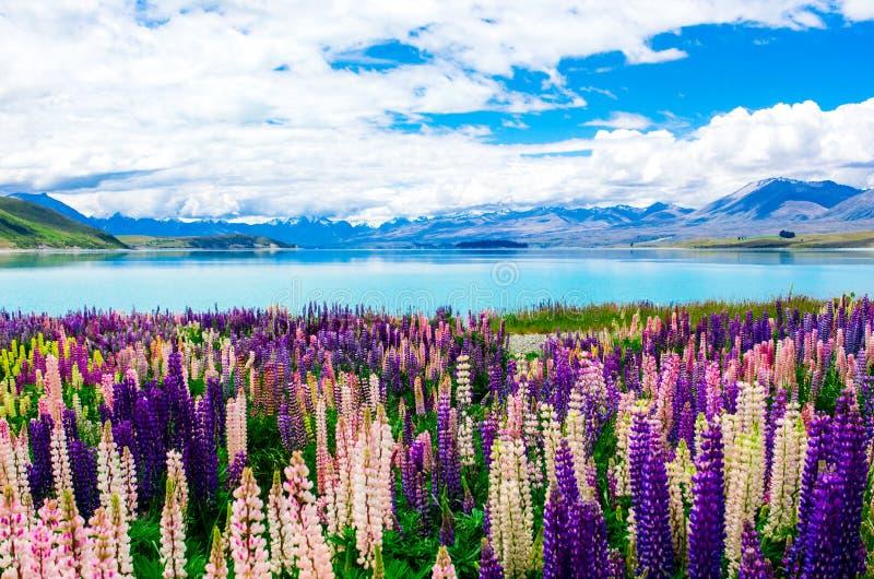 Färgrika lupin vid sjön Tekapo fotografering för bildbyråer