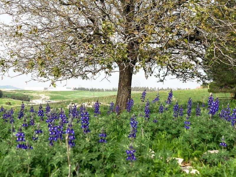 Färgrika Lupines blomstrar under ett träd i ett fält på en solig dag royaltyfria bilder