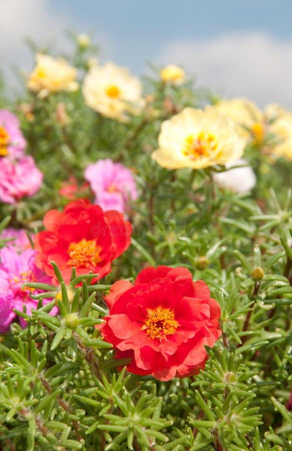 Färgrika Moss Rose royaltyfri fotografi