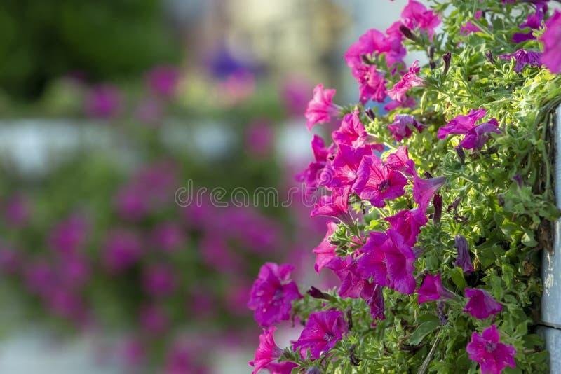 Färgrika multiflorapetunior i en träplanterfönsterask royaltyfri fotografi