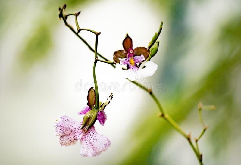Färgrika och tropiska orkidér royaltyfria foton