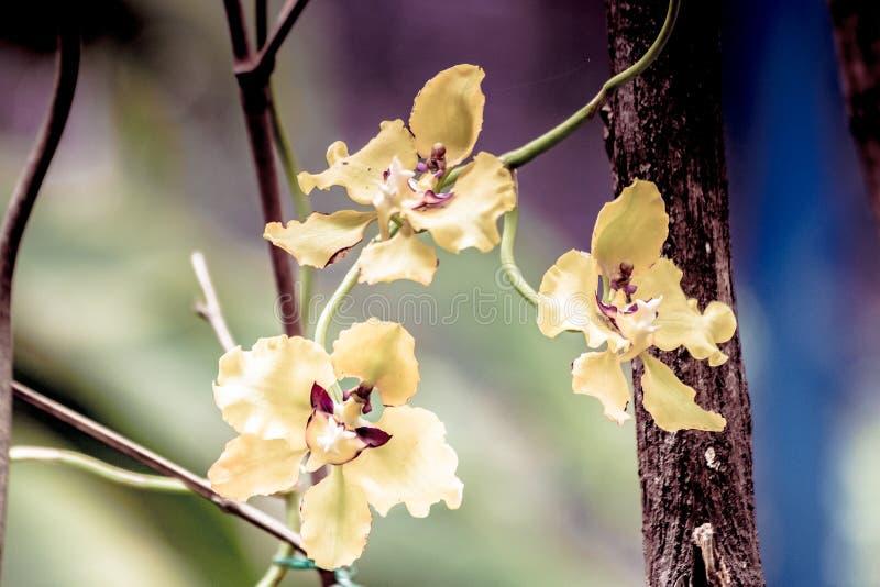 Färgrika och tropiska orkidér royaltyfri bild