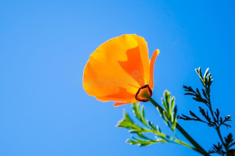 Färgrika orange vallmo eller tulpan mot blå himmel under skott av blomman royaltyfria bilder