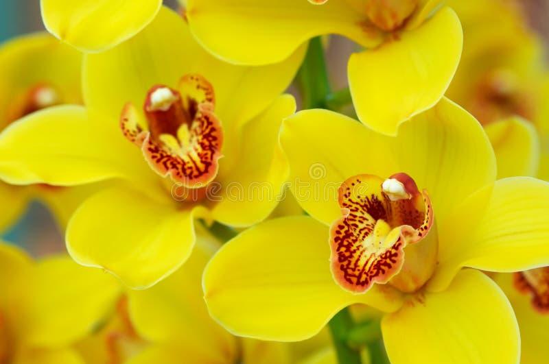 färgrika orchids fotografering för bildbyråer
