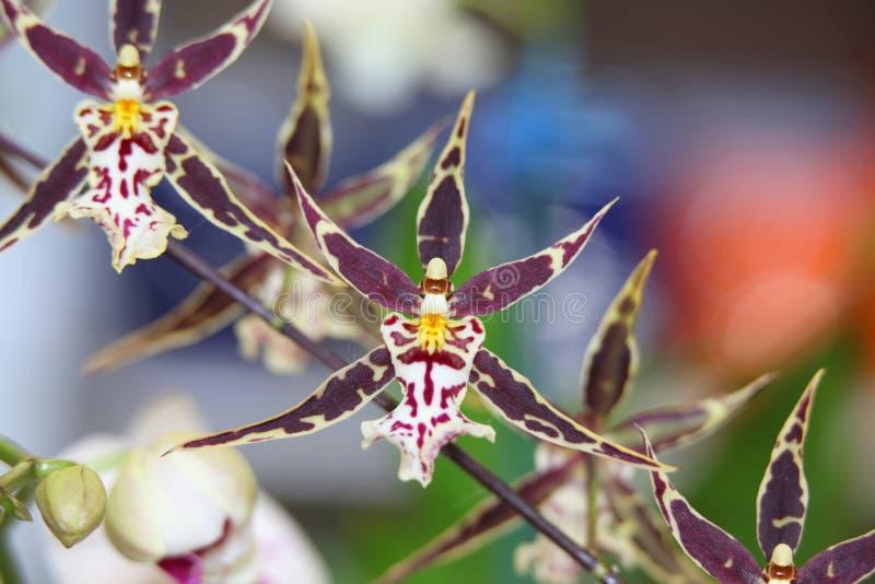 Färgrika orkidér fotografering för bildbyråer