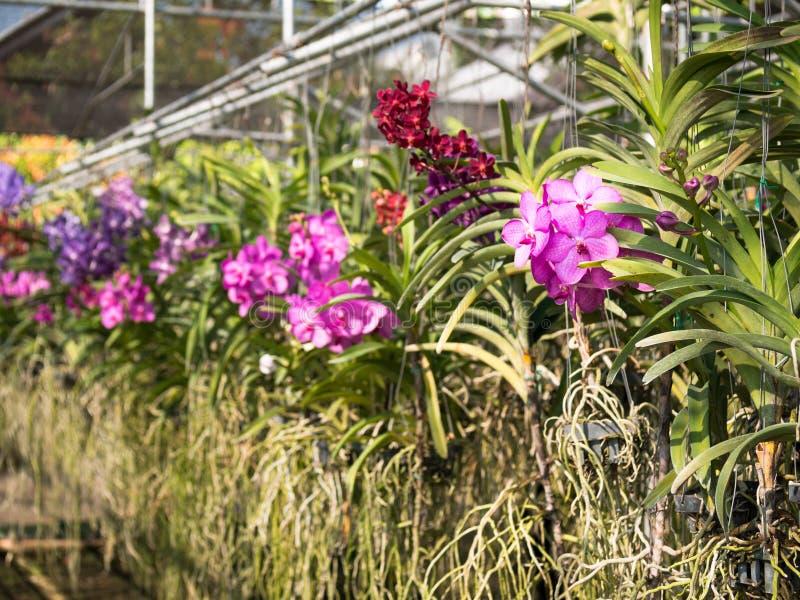 Färgrika orkidér som hänger i krukor royaltyfria foton