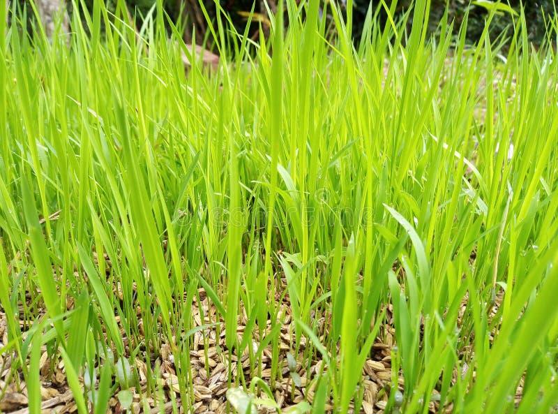 Färgrika Paddy Cultivation i Sri Lanka arkivfoton