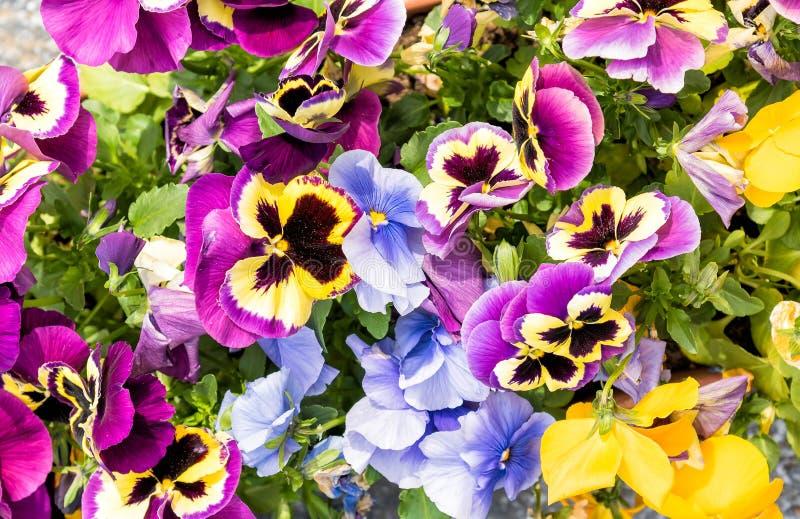 Färgrika Pansy Flowers, blom- bakgrund arkivbilder