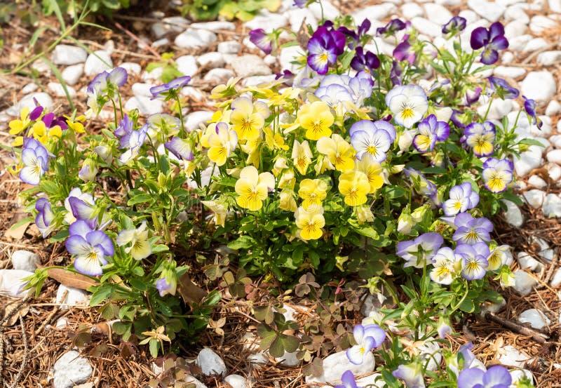 Färgrika Pansy Flowers, blomma för sommar arkivbild