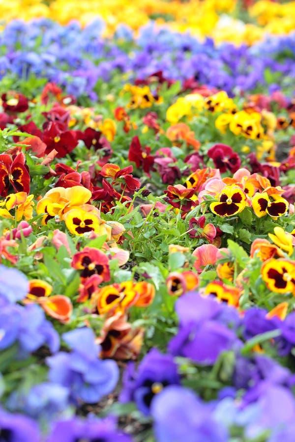 Färgrika Pansy Flowers på rabatt arkivbild