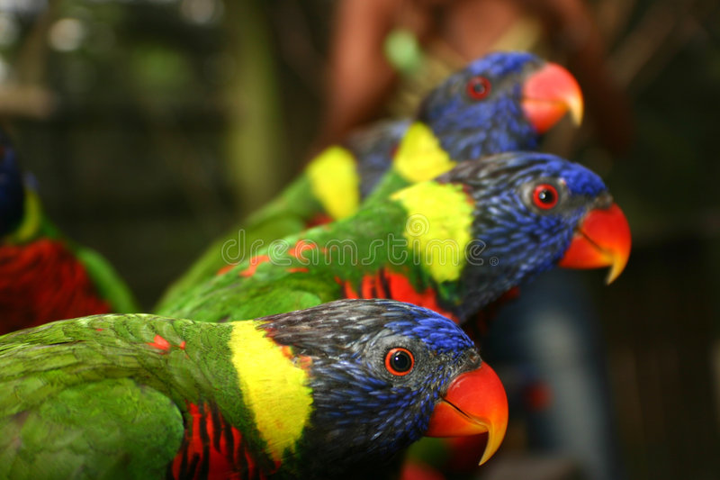 färgrika papegojor royaltyfri fotografi