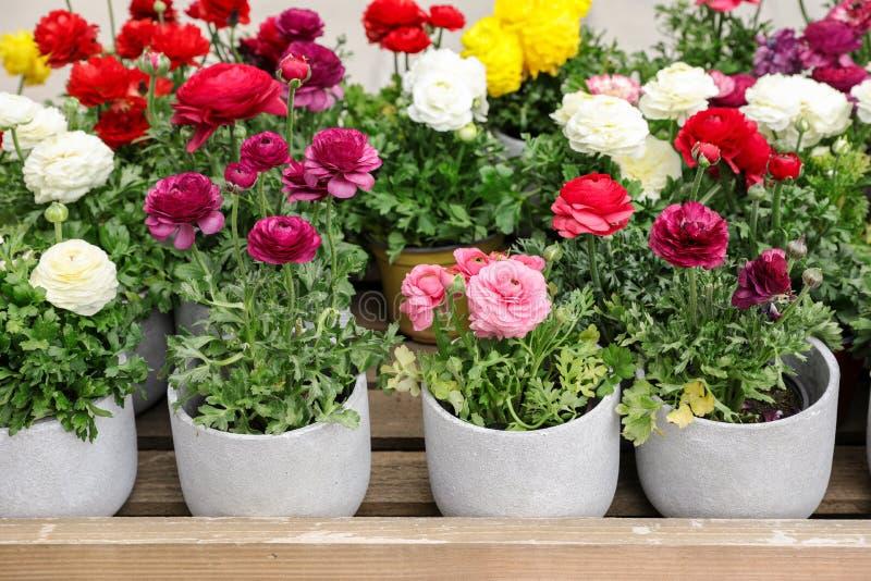 Färgrika persiska smörblommablommor eller Ranunculusasiaticusen lade in till salu i trädgården shoppar royaltyfri foto