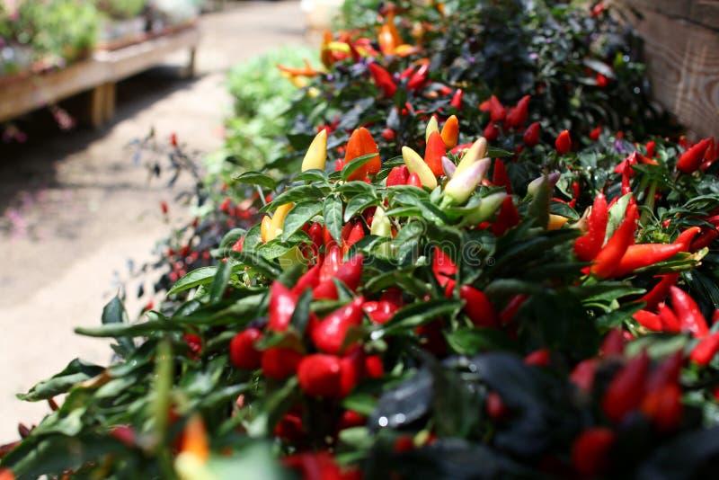 Färgrika plantor av peppar i barnkammaren arkivbilder