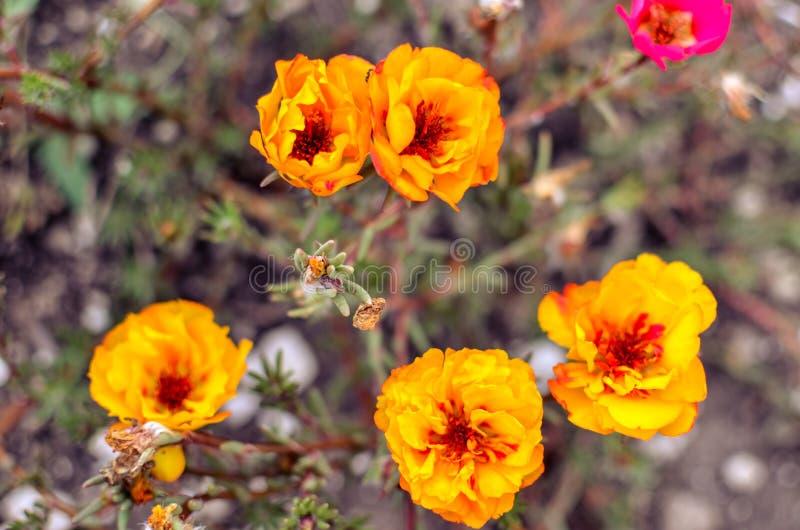 Färgrika Purslaneblommor i trädgården Orange mossaros, Portulaca eller Purslanebakgrund royaltyfria bilder