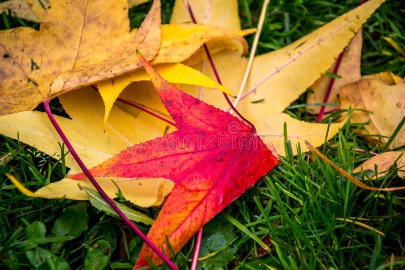 Färgrika röda och gula stupade sidor på gräset i höst royaltyfria foton