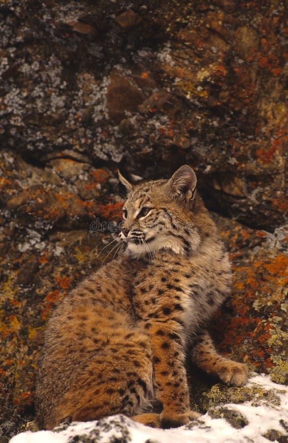 Färgrika Rocks För Bobcat Royaltyfri Fotografi