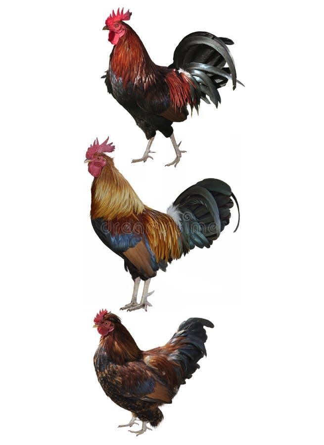 Färgrika Roosters royaltyfri foto