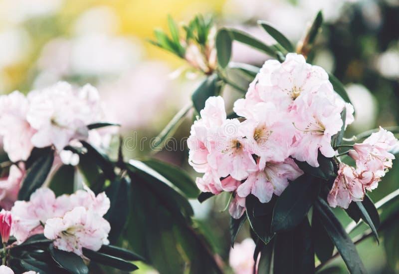Färgrika rosa azaleablommor i trädgård Blomma buskar av den ljusa azalean på vårsolljus Natur vårblommor royaltyfri bild