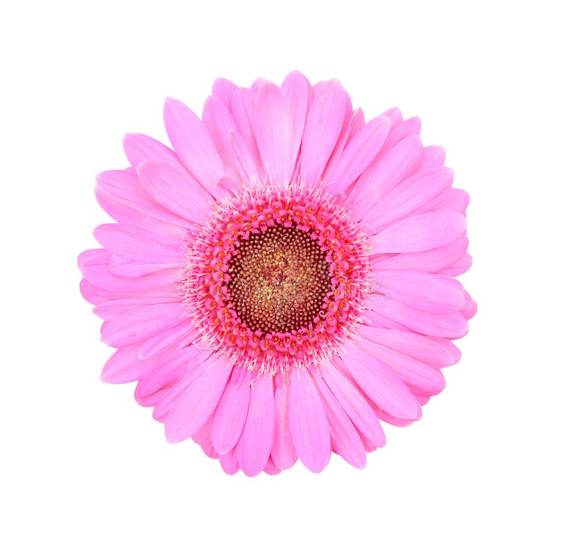 Färgrika rosa blommor för bästa sikt som blommar, zinniaviolacea som isoleras på vit bakgrund med urklippbanan arkivbilder