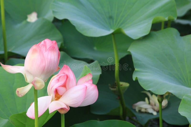 Färgrika rosa Lotus blommor i dammet royaltyfri foto