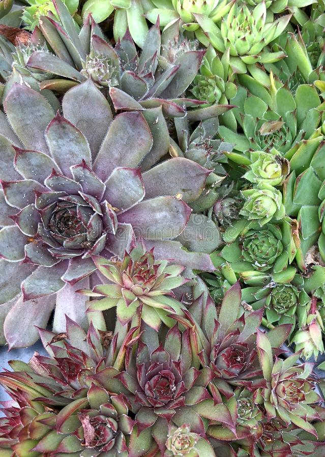 Färgrika rosetter av den Sempervivum växten royaltyfri fotografi