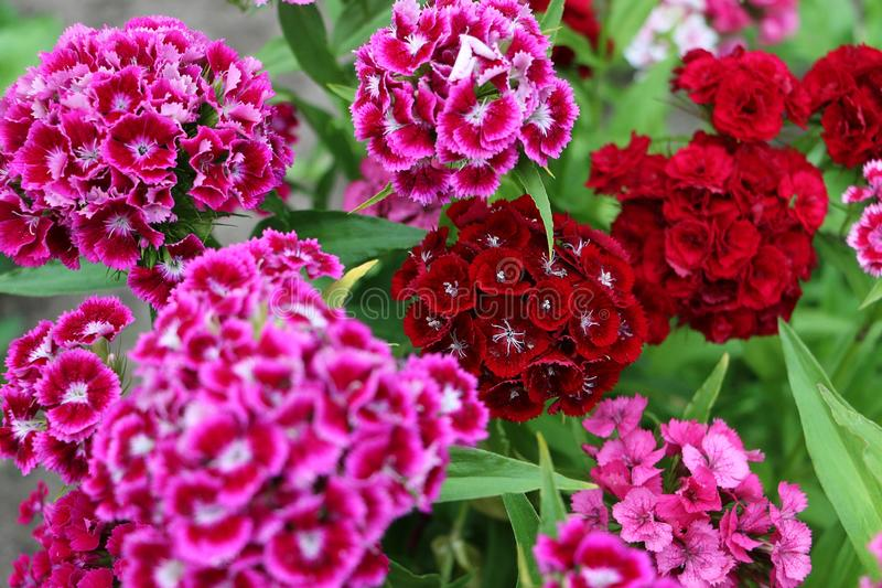 Färgrika söta william blommar tätt upp royaltyfri fotografi