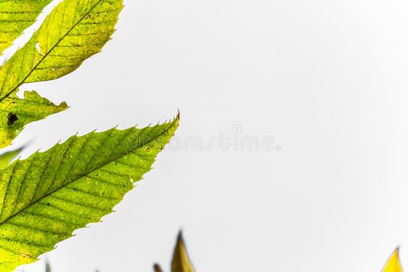 Färgrika sidor för kastanj för guling för gräsplan för höstnedgångsäsong, idérik bakgrundsmodell med kopieringsutrymmetext på vit arkivfoton