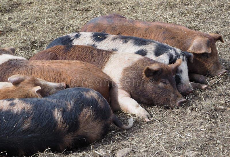 Färgrika sprätt- svin som tillsammans sover arkivfoto