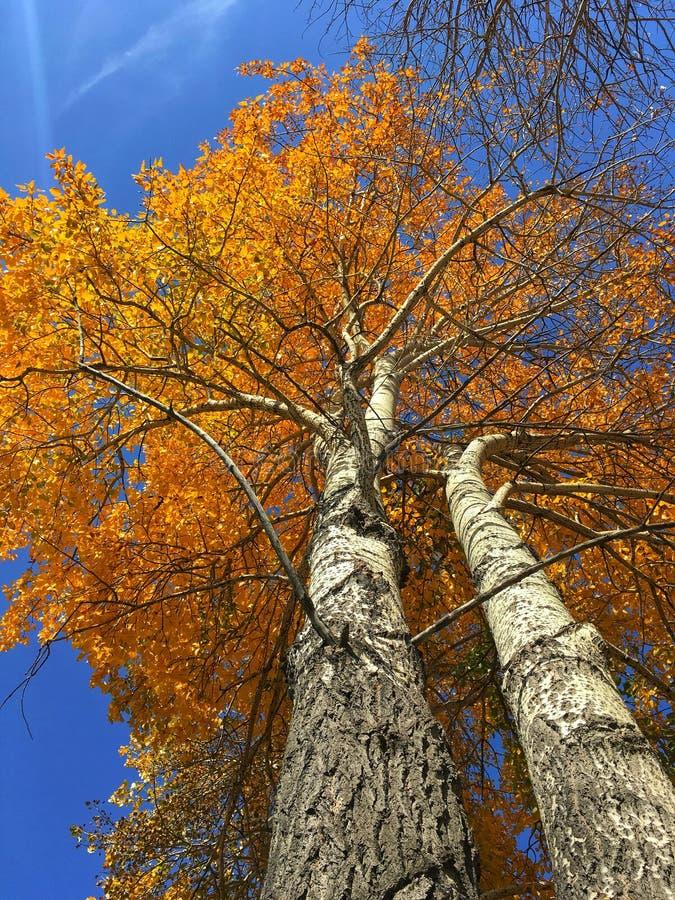 Färgrika träd för vit björk i nedgång royaltyfri foto