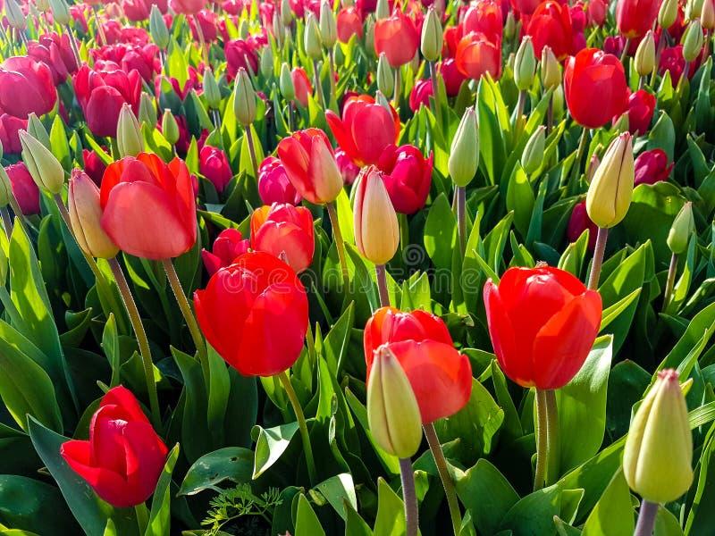 Färgrika tulpan i vårtid royaltyfri bild