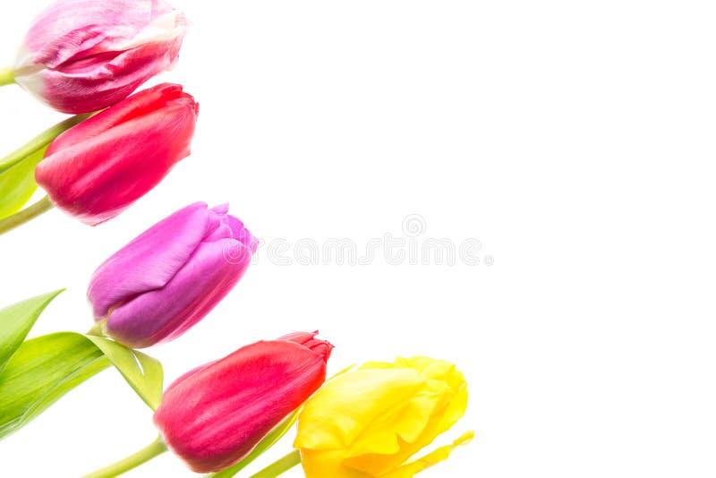 Färgrika tulpanblommor som isoleras på vit bakgrund med fritt utrymme Mothersday eller vårbegrepp royaltyfri bild