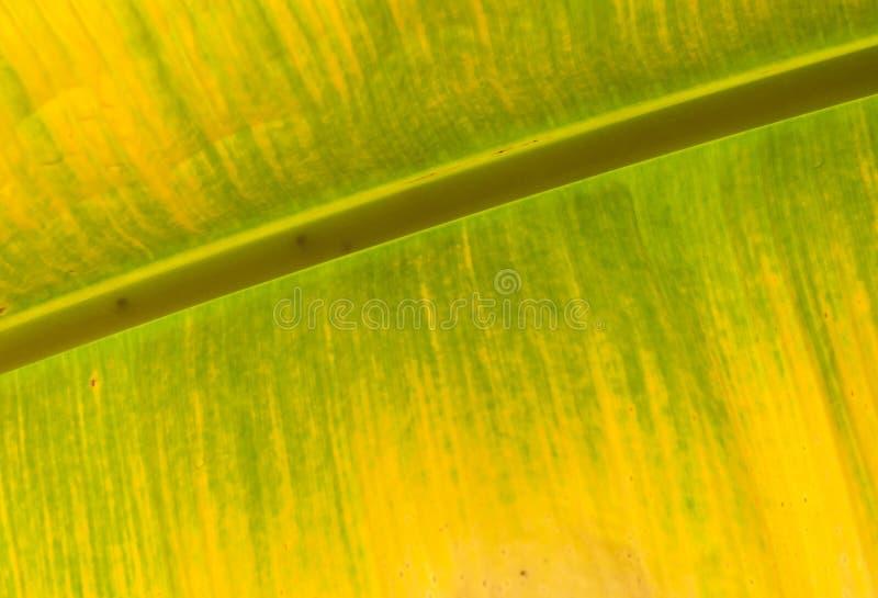 Färgrikt av bananbladet Gul och grön färg arkivbild