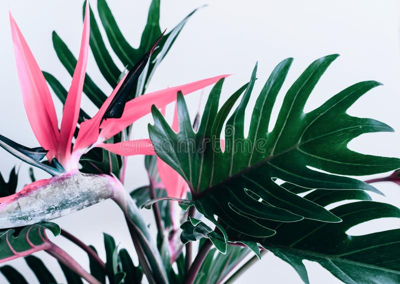 Färgrikt av exotiska tropiska blommastrelizia- och xanadusidor arkivbilder